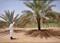 خدمات المزارعين ينهي حملة رش النخيل لمكافحة حشرتي الحميرة وحلم الغبار