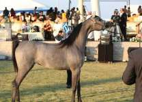"Ajman Stud to compete in ""Arabian Horse World Championships of the Mediterranean and Arab Countries"" in France"