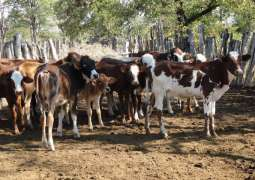 Two cattle thieves killed by villagers, another killed in firing of culprits in larkana