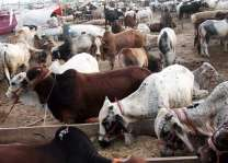 Capital's rural dwellers interests compromised due to ban on local cattle markets