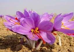 Iran accounts for 92% of world saffron output