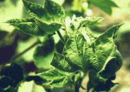 University of Agriculture Faisalabad to work on cotton leaf curl virus and whitefly