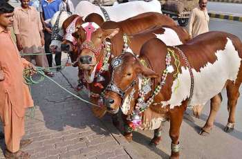 Enthusiastic buyers in cattle markets busy to bargain for Sacrificial animals
