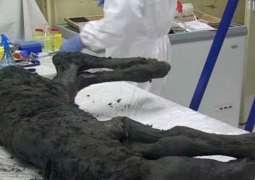 Scientists of Russia's Yakutia May Clone Mammoth in Next 10 Years - Region's Head