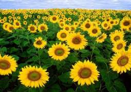 Sindh Chamber of Agriculture advocates subsidy for sowing sunflower to save foreign exchange