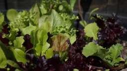 Green leafy vegi reduces diabetes risk: study