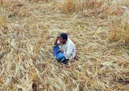 بھارت، فصل دا خریدار نہ ملنڑ تے کسان خود کشی کر گھدی