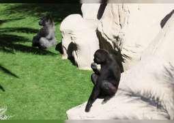 Four gorillas to join Al Ain Zoo on its golden jubilee
