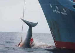 REVIEW - Japan's Decision to Resume Commercial Whaling Sparks Backlash of Eco Activists