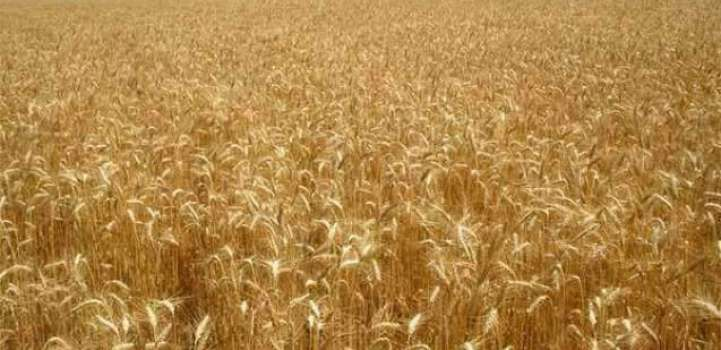 Rain to have salutary impact on wheat