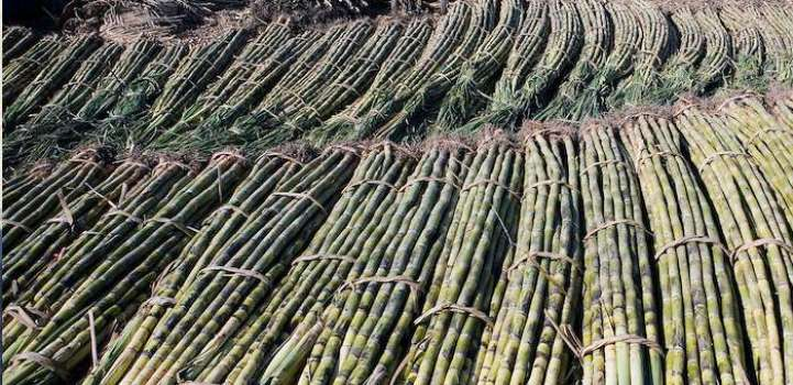 Seven sugar mills started cane crushing in Sindh: Minister claims ..