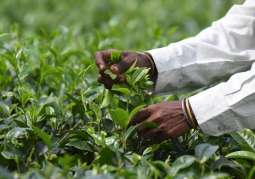 Scientists discover tea plants can send chemical