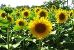 Growers advised to start Baharia sunflower cultivation from January