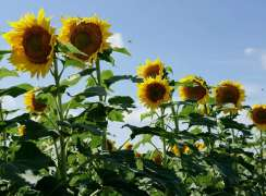 Farmers advised to cultivate sunflower instead of late wheat sowing
