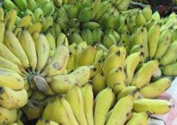 Water scarcity hits banana production in Sindh