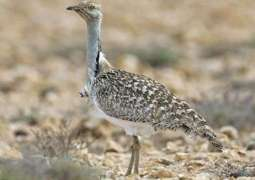 Govt permits Arab royal families to hunt houbara bustard