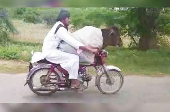 Only in Pakistan! Watch man riding bike with a cow