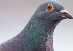 CIA Planned to Use Pigeons to Gather Intelligence During Cold War - Declassified Documents