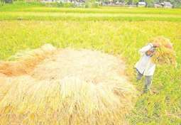 Philippine Farmers Can Start Buying Irradiated Rice Growth Promoter by 2020 - PNRI