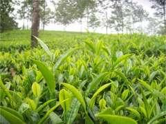Tea plantation can improve economy: Chairman, PARC
