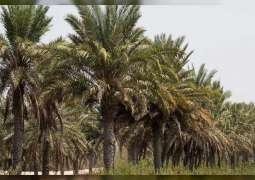 NYUAD researchers release new date palm genome sequence