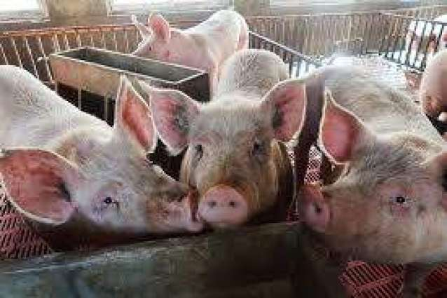 Philippines Finds New Cases of African Swine Fever Virus in 2 Provinces - Reports