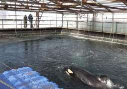 Russia Sets 'Example for World' by Releasing All Orcas, Belugas From 'Whale Jail' - NGO