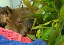 Koala seen in rescue from Australian bushfire dies