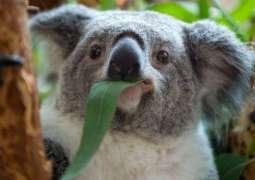 Over 2,000 Koalas Feared Dead in Bushfire Crisis in Australia's East - Reports