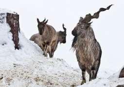 Spanish hunter pays $85,300 to hunt markhor in Gilgit-Baltistan