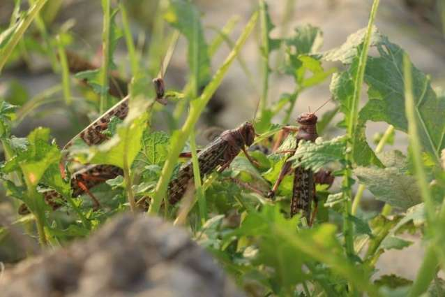 Massive locusts attack would continue for next two years: Committee informed