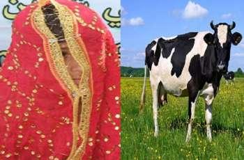 اجبار الرجل علي الزواج من طفلة یبلغ من عمرھا 13 عاما بسبب البقرة في الھند