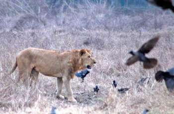 Lions eat youth in Lahore's Safari park