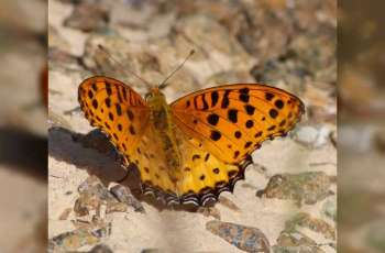 Himalayan butterfly found in Fujairah
