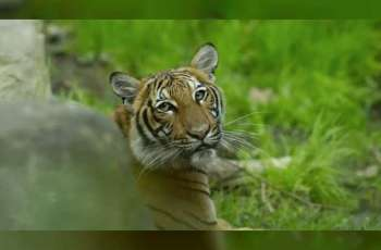 Tiger at New York zoo tests positive for COVID-19