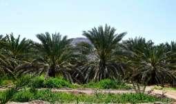 مزارعو المدينة المنورة يؤكدون وفرة التمور بالمنطقة