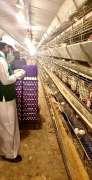 تجارة نجران تنفذ جولات رقابية على مزارع الدواجن