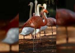 Al Ain Zoo celebrates International Flamingo Day