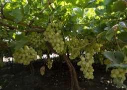بساتين العنب بنجران تنتج أكثر من 3 آلاف طن سنوياً