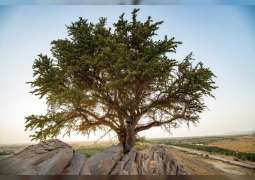 100-year old Al-Sarh tree discovered in Abu Dhabi
