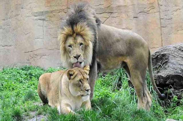 Male lion dies after death of lioness in Islamabad Zoo