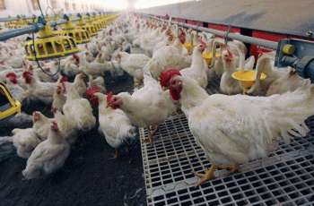 Russian Agricultural Watchdog Bans Import of Live Poultry From Australia Due to Avian Flu