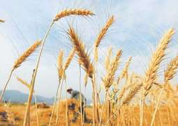 Wheat price touches historic high as 40kg is available against Rs 2400