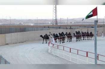 """""""شوط الملايين"""" يشهد منافسات قوية بين ملاك الإبل في الإمارات والخليج بمهرجان الظفرة"""