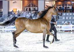 Emirates Arabian Horse Breeders Championship 2021 to start tomorrow in Al Ain