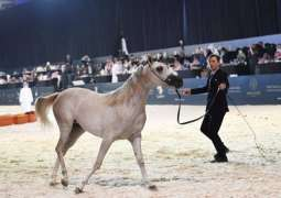 انطلاق منافسات بطولة المملكة لجمال الخيل العربية الأصيلة بالرياض