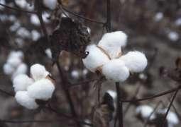 Cotton price touches sky