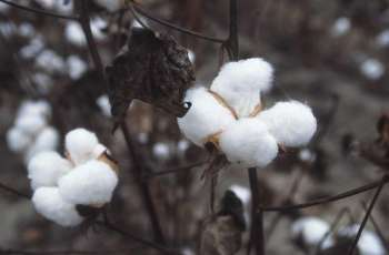 Cotton price touches sky