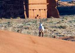 الهيئة الملكية لمحافظة العُلا تُطلق المجموعة الثالثة من الحيوانات الفطرية في بيئاتها الطبيعية ضمن موقع الحجِر