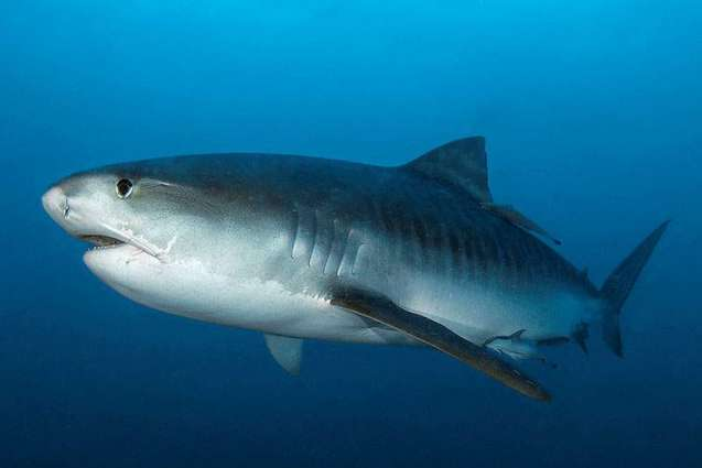 Around 80% of Sharks Die in 'Non-Lethal' Control Program in Great Barrier Reef, Charity
